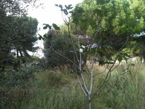 albero di fico nel parco del Dragone