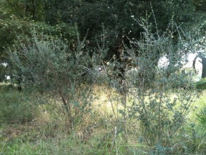 piccoli alberi di ulivo nel parco del Dragone
