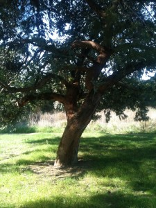albero del drago